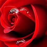 Rose Absolu